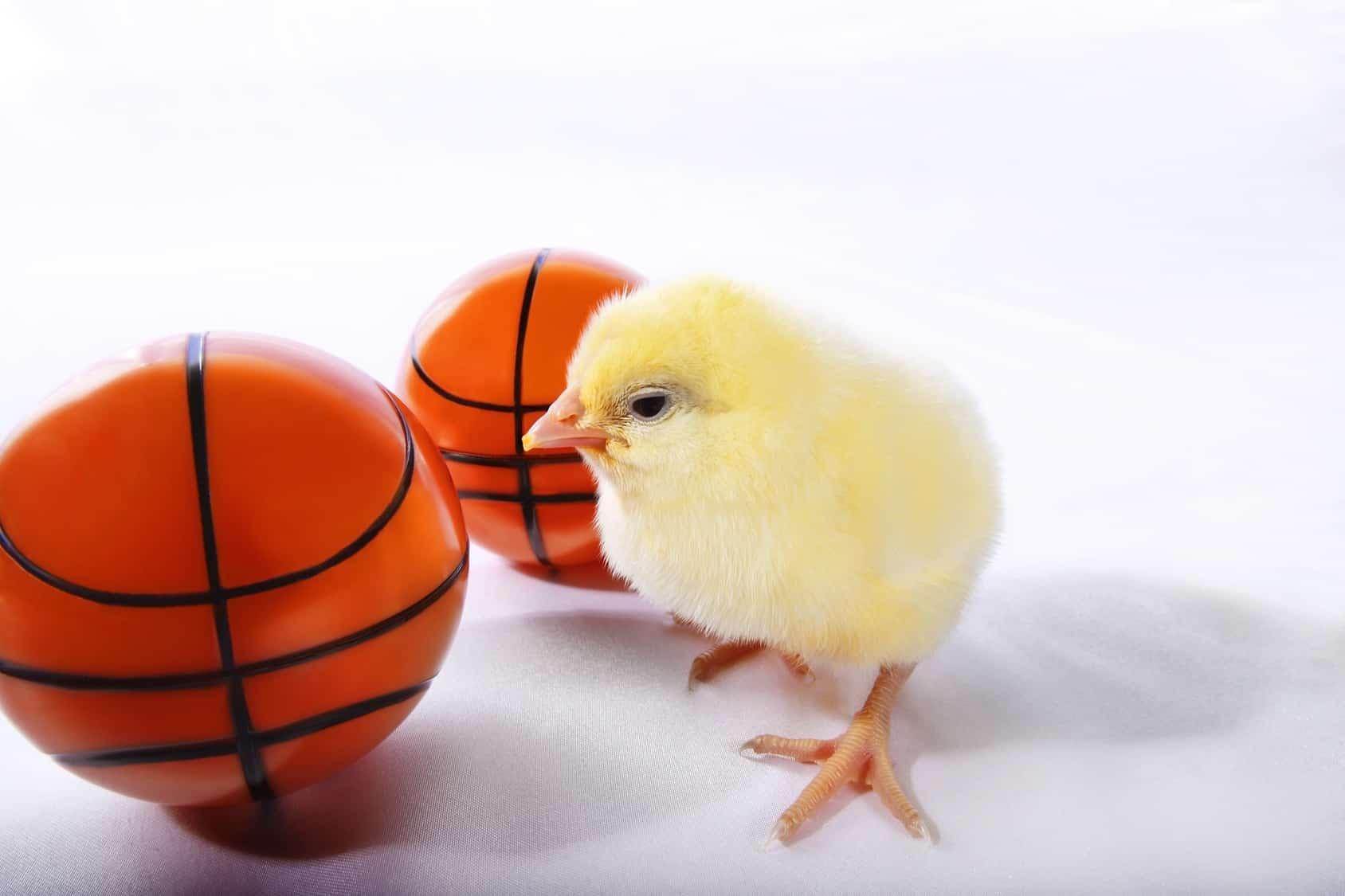 Full court chickens